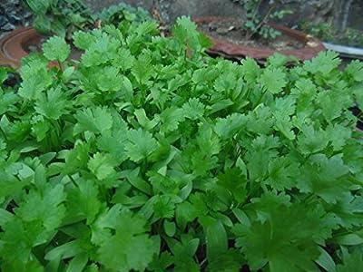 Cilantro 1000 Seeds, Leisure Coriander, Oriental & Mexican Cuisine,
