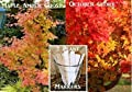 2 Pack Maple Tree Seeds 130 Seeds Upc 650327337886 +3 Plant Markers October Glory Maple Maple Amber Tree