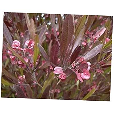 CJI 5 Seeds Dodonaea viscosa purpurea Purple HOPSEED Bush Shrub - RK57 : Garden & Outdoor