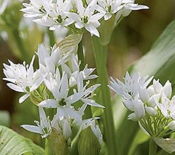 2500 Samen Hylotelephium telephium Sedum Fette Henne Große Fetthenne