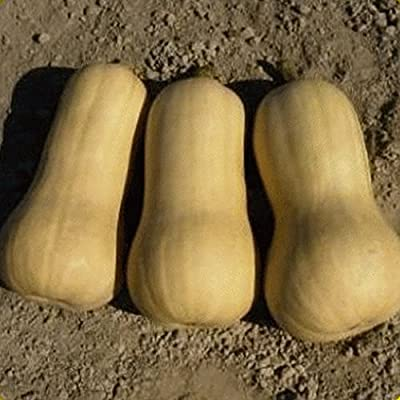Everwilde Farms - Organic Waltham Butternut Winter Squash Seeds - Gold Vault