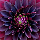 10+ Black Dahlia Flower Seeds