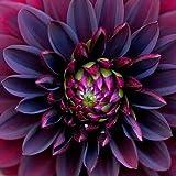 10+ Black Dahlia Flower Seeds