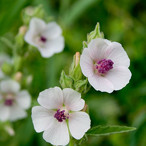 Mallow Plant (Outsidepride Marsh Mallow - 1000 Seeds)