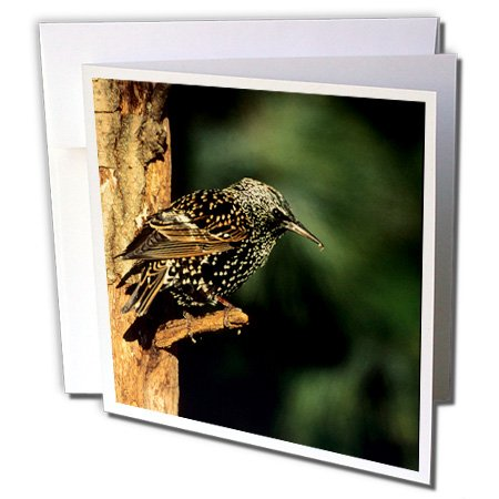 3drose-danita-delimont-starling-european-starling-marion-il-12-greeting-cards-with-envelopes-gc-2508