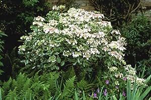 3 Starter Plants of Hydrangea Macrophylla Quadricolor