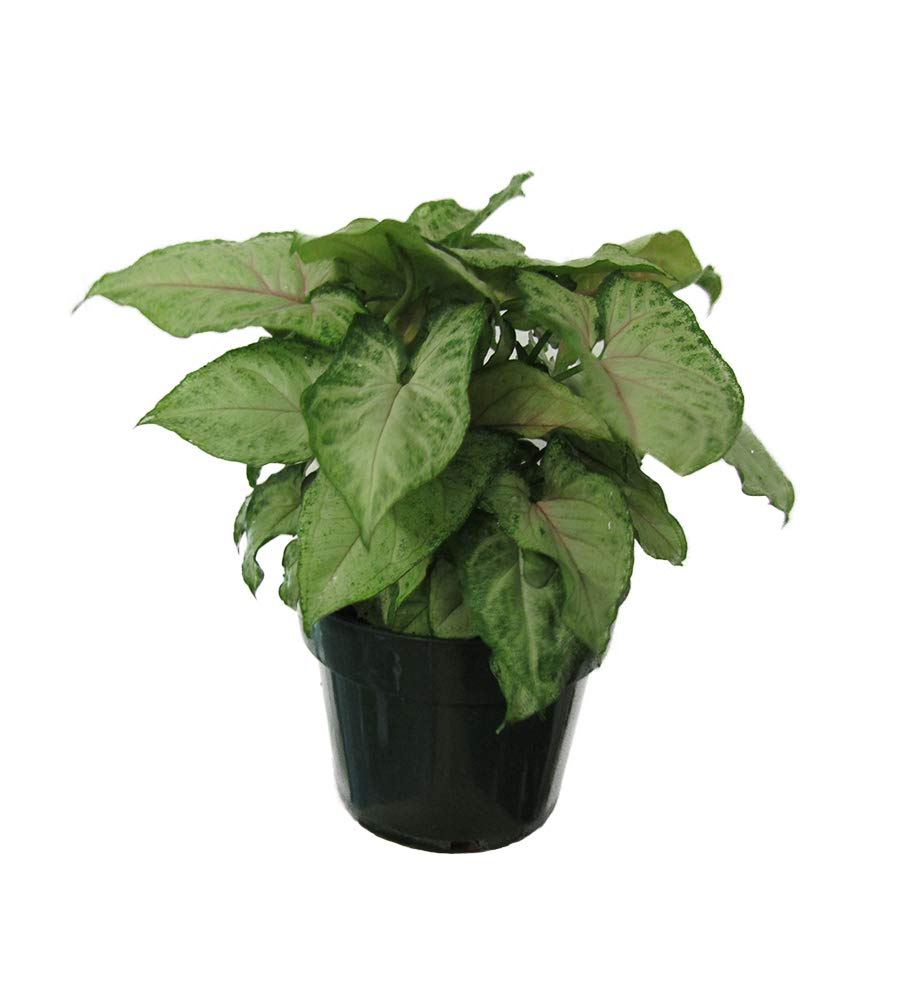 AMERICAN PLANT EXCHANGE Berry Allusion Nephthytis Indoor/Outdoor Live, 1 Gallon, Worry Free Air Purifier!