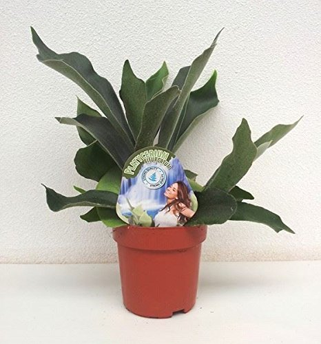 Platycerium Bifurcatum Plant in a 12cm Pot. Staghorn Fern Perfect Plants