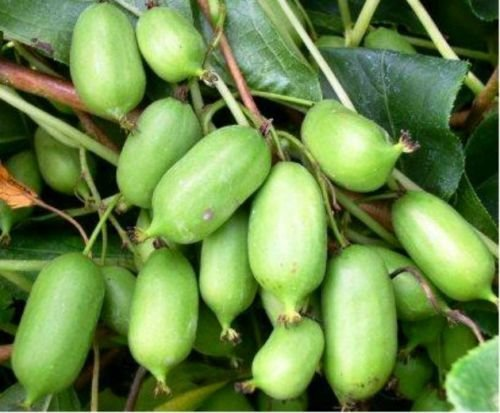Issai Kiwi Seeds! Grows 100#