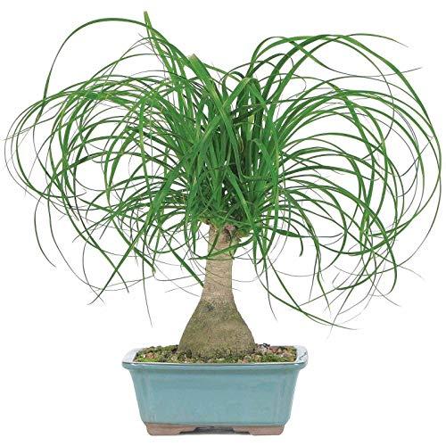 ytail Palm Bonsai ()