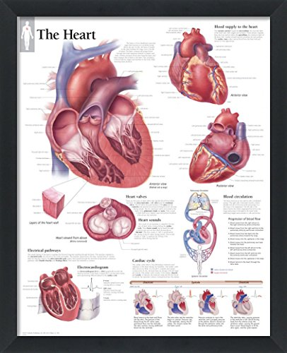 The Heart Framed Medical Educational Informational Poster Diagram Doctors Office School Classroom 22x28 Inches