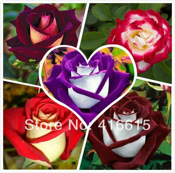 250 New Rose Seeds,5 Different Colors Rare Osiria Rose ,Professional Packing,heirloom Chinese Rose Flower Seeds,+mysterious Gift (Rose Plants)