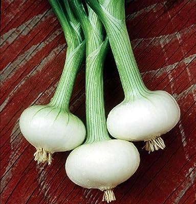 Cipollini Bianca Di Maggio Onion 250 Seeds-Current Rage