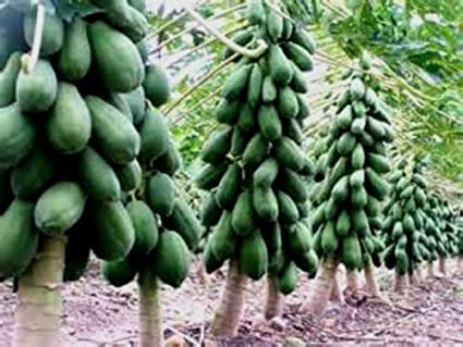 Maradol Papaya Tree Seeds Grows Fruit In Only 9 MONTHS From Seed 10