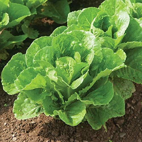 Lettuce Parris Island - David's Garden Seeds Lettuce Parris Island SV62702 (Green) 500 Non-GMO, Heirloom, Organic Seeds