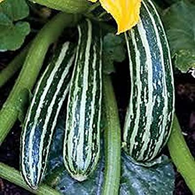 Squash, Cocozelle Summer Squash Seed, Organic, NON-GMO, 25 Seeds per Package.
