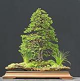 Jezo Spruce, Picea Jezoensis, 50 Tree Seeds (Bonsai, Fast, Evergreen)