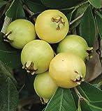 M-Tech Gardens Indoor Dwarf Lemon Guava Psidium littorale Fruit Seed for Growing 25 Seeds/Bag