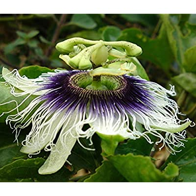 Seeds and Farms PASSIFLORA caerula Blue Passion flower 25 Plus Seeds : Garden & Outdoor