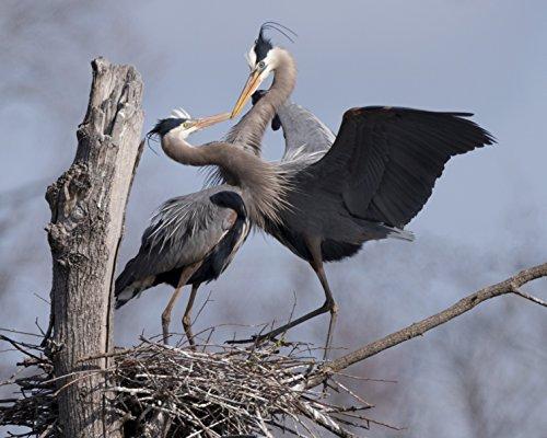heron-couple-showing-bonding-and-mating-behavior