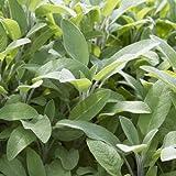 Broadleaf Sage 50000 Seeds Potpourri Aroma Herbs Salvia Officinalis Bulk