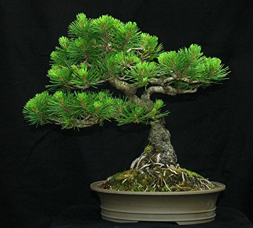 s of Mugo Pine, Pinus mugo Montana (Hardy Evergreen, Bonsai, Topiary) ()