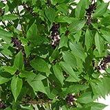 "Ocimum tenuiflorum - indisches Basilikum ""Tulsi"" - heiliges Basilikum - 100+ Samen"