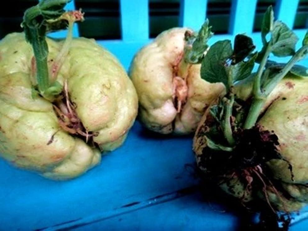 に賛成大脳ヶ月目オーガニック種子:10本の挿し木:AVA/YUCA(キャッサバ)Farmerlyによって挿し木