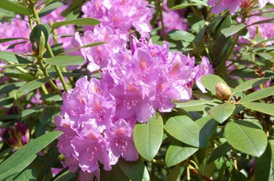 Lavender Rhododendron Shrubs - Huge Purple Blooms The First Year! - 1 Gallon by Brighter Blooms (Image #3)
