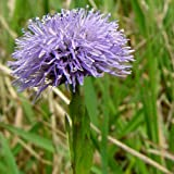 Plant World Seeds - globularia bisnagarica Seeds