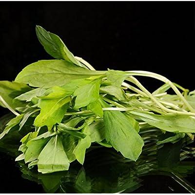 100 Kalimeris Indica Natural Wild Vegetable Seeds : Garden & Outdoor