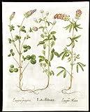 Crimson clover; Red wood clover