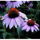 Futaba® Purple Coneflower Echinacea Purpurea Perennial Herb 1000 Seeds
