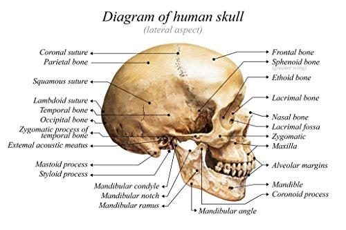 Laminated Human Skull Diagram Anatomy Educational Chart Sign Poster 18x12 inch -