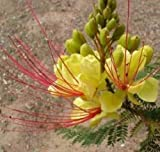 Caesalpinia gilliesii Bird of Paradise Shrub 10 seeds