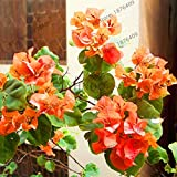 SVI 105 pcs Fresh Bougainvillea Spectabilis Flower Seeds for Planting Orange