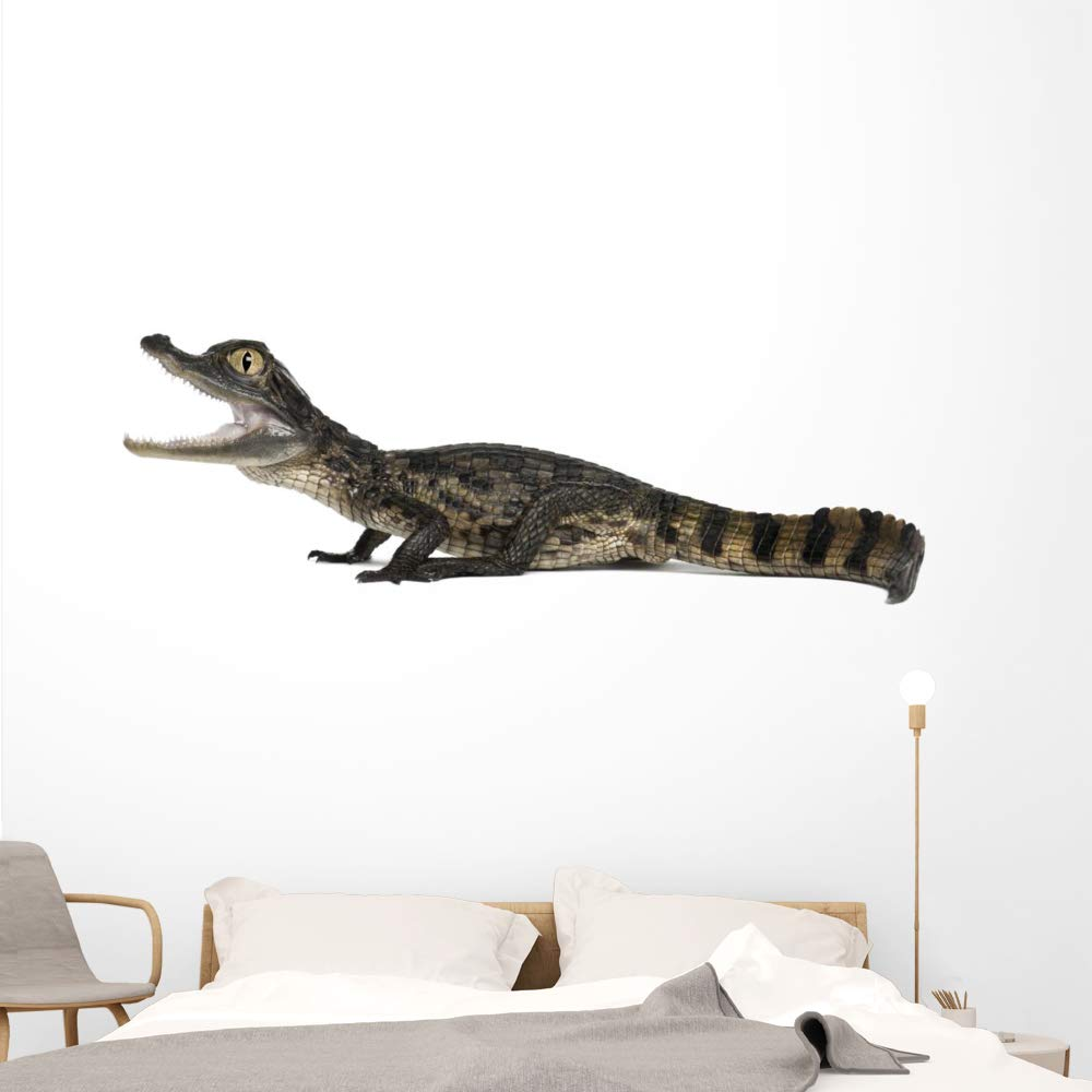 Wallmonkeys Spectacled Caiman Crocodile Wall Decal Peel and Stick Animal Graphics (72 in W x 31 in H) WM502942