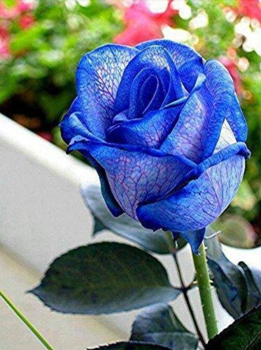 Image: Amazon.com : Blue Rose Bush Seeds - Rare, Exotic & Beautiful (20+ ...
