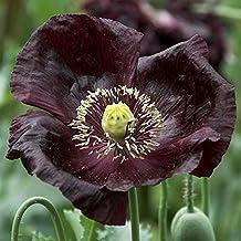 Poppy Seeds - Midnight - Packet, Flower Seeds