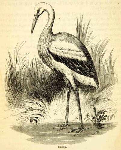 1858 Wood Engraving Art White Stork Bird Animal Wildlife Nature Ciconia Portrait - Original In-Text Wood Engraving from PeriodPaper LLC-Collectible Original Print Archive