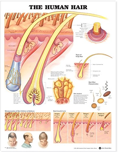The Human Hair Anatomical Chart (Life Cycle Poster Laminated)
