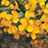 Mexican Mint Marigold Seeds (Tagetes lucida) 30+ Rare Seeds in FROZEN SEED CAPSULES for the Gardener & Rare Seeds Collector, Plant Seeds Now or Save Seeds for Years