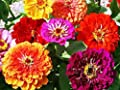 California Giant Zinnia 500+ Seeds Organic, Beautiful Bright Crisp Colors