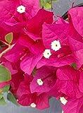 Two Live 4 Inch Bougainvillea 'Juanita Hatten' Fuchsia-Red Flowers. 4 Plants, 2 per Pot.