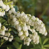 1 gal. Pieris Mountain Snow