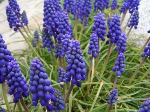 Muscari armeniacum (Grape Hyacinth) 75 Top Quality Bulbs - Pre Order and Save by The Wolds Collection