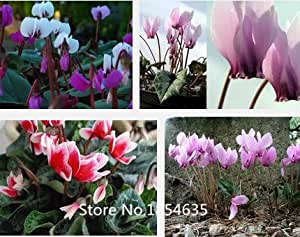 Garden Plant 100 Cyclamen seeds, potted balcony, planting seasons, sprouting flower seeds Bonsai Seed