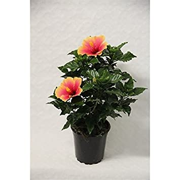 Hibiscus Rosa Sinensis Seppe House Plant In17cm Pot Yellow And Pink