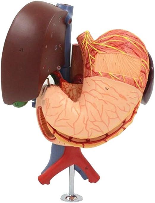 SHUAI Estómago Humano, Hígado, Vesícula Biliar, Páncreas, Duodeno ...