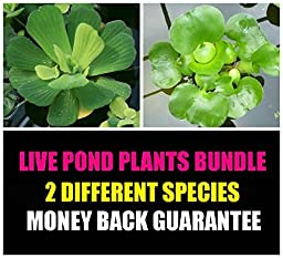 2 Floating Live Pond Plants - Watter Lettuce and Water Hyacinth